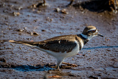 hunting in the mud with a killdeer