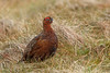 Red Grouse, Langdon Beck, Durham, England by Terathopius