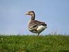 Greylag goose by Corine Bliek