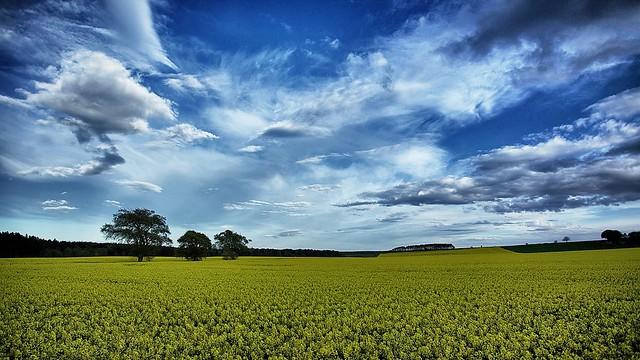 Landscape of rapeseed