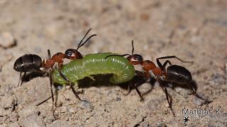 Ameisen und Raupe | Projekt 365 | Tag 173