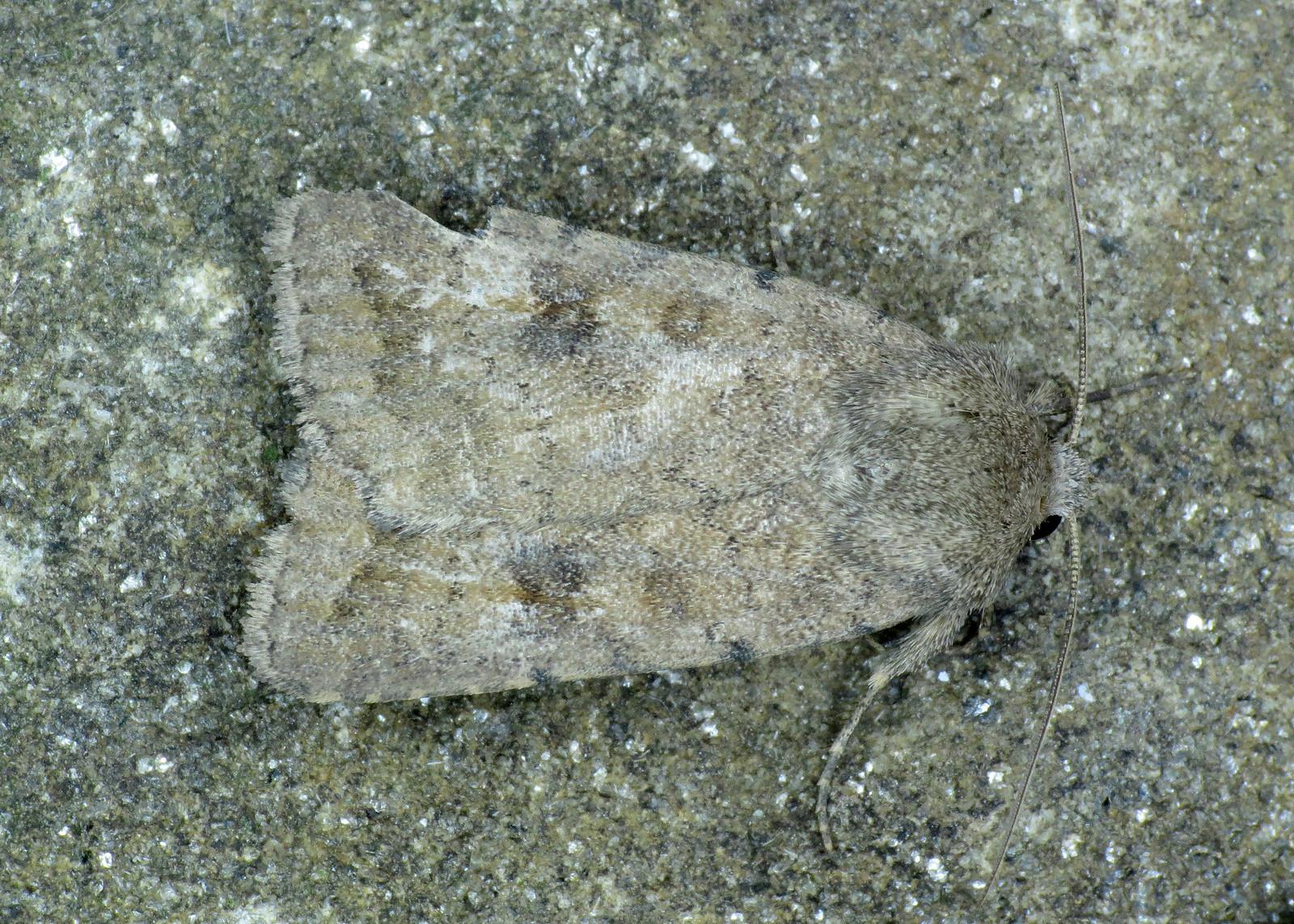 2387 Mottled Rustic - Caradrina morpheus