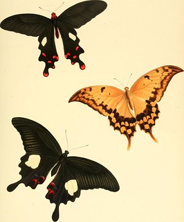 "Image from page 273 of ""The genera of diurnal lepidoptera : comprising their generic characters, a notice of their habits and transformations, and a catalogue of the species of each genus"" (1846) 