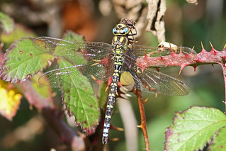 Southern Hawker (Aeshna cyanea), by Peter Alfrey | by Beddington Farmlands