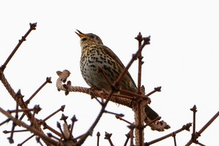 Song Thrush | by davidmamartin