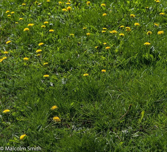 Dandelion Patch