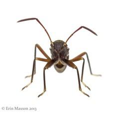 ant mimic bug 2