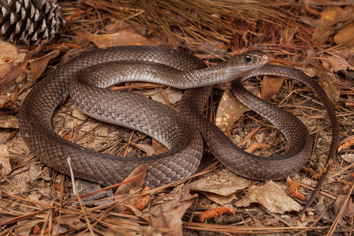 Coluber constrictor etheridgei (Tan Racer) | by Kyle L.E.