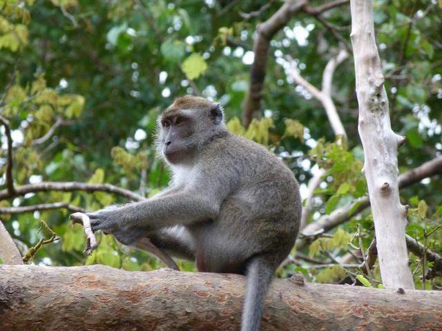 Macaco de cola larga en el río Kinabatangan (Borneo)