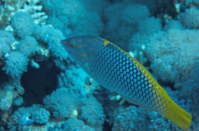 Checkerboard Wrasse, Halichoeres hortulanus, Gordon Reef, Tiran, Red Sea