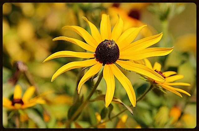 Yellow Daisie1(Black eyed Susan Daisie)