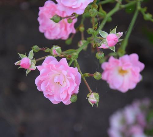 Le rose des roses 01   by Chaquejourquemoijvis