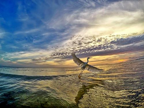bird beach florida snowyegret birdwatcher fortmyersbeach gopro