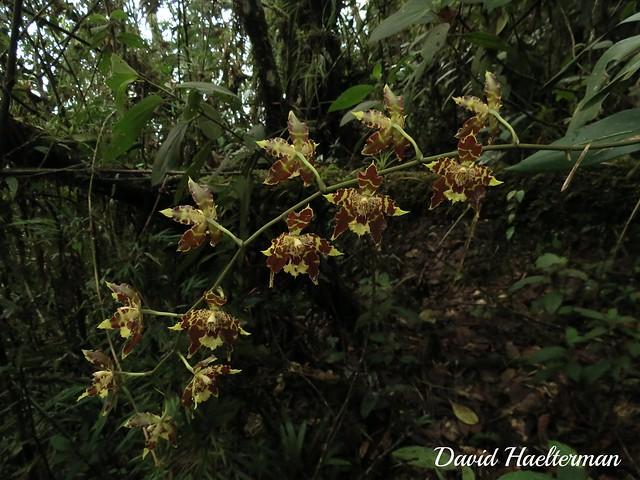 Inflorescencia de Odontoglossum sceptrum (Distribución : endémica de Colombia) in situ, Antioquia, Colombia