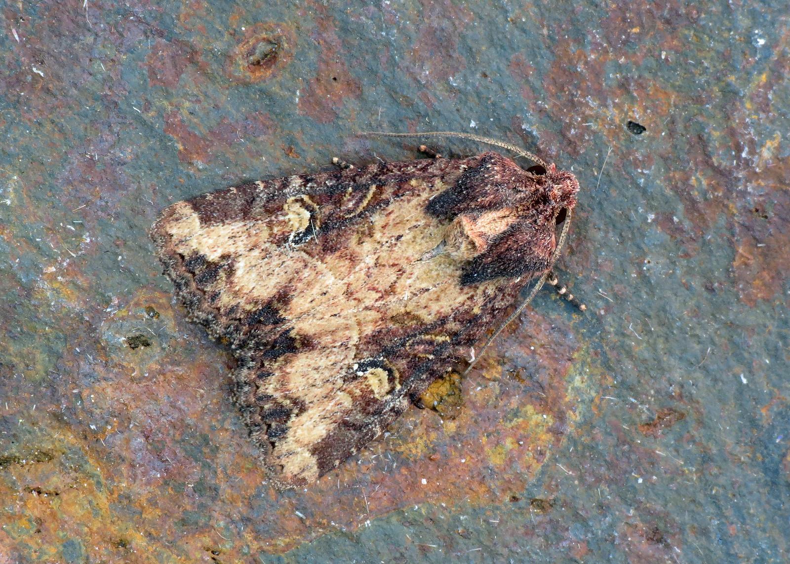 2343 Common Rustic - Mesapamea secalis