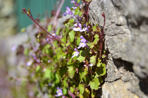 Cymbalaria muralis - linaire des murs, linaire cymbalaire 33115406010_dd76a9c40a