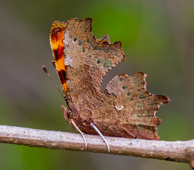 Early Comma