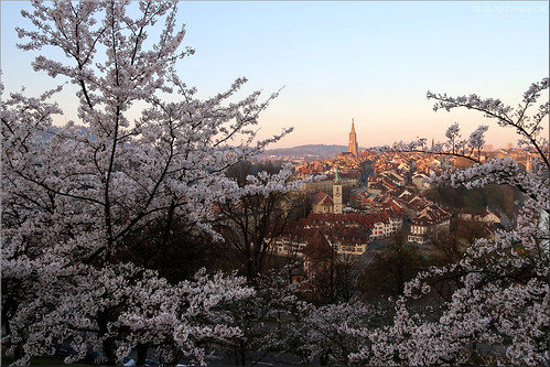 switzerland bern sunrise cherry blossom