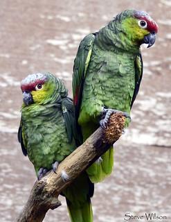 Pair of Lilacine Amazons