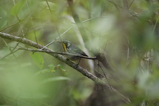 Yellow throated warbler St marks NWR | by johnd1964