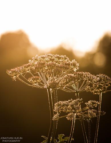 flowers sunset sun plant nature flora nikon bokeh jersey d3000