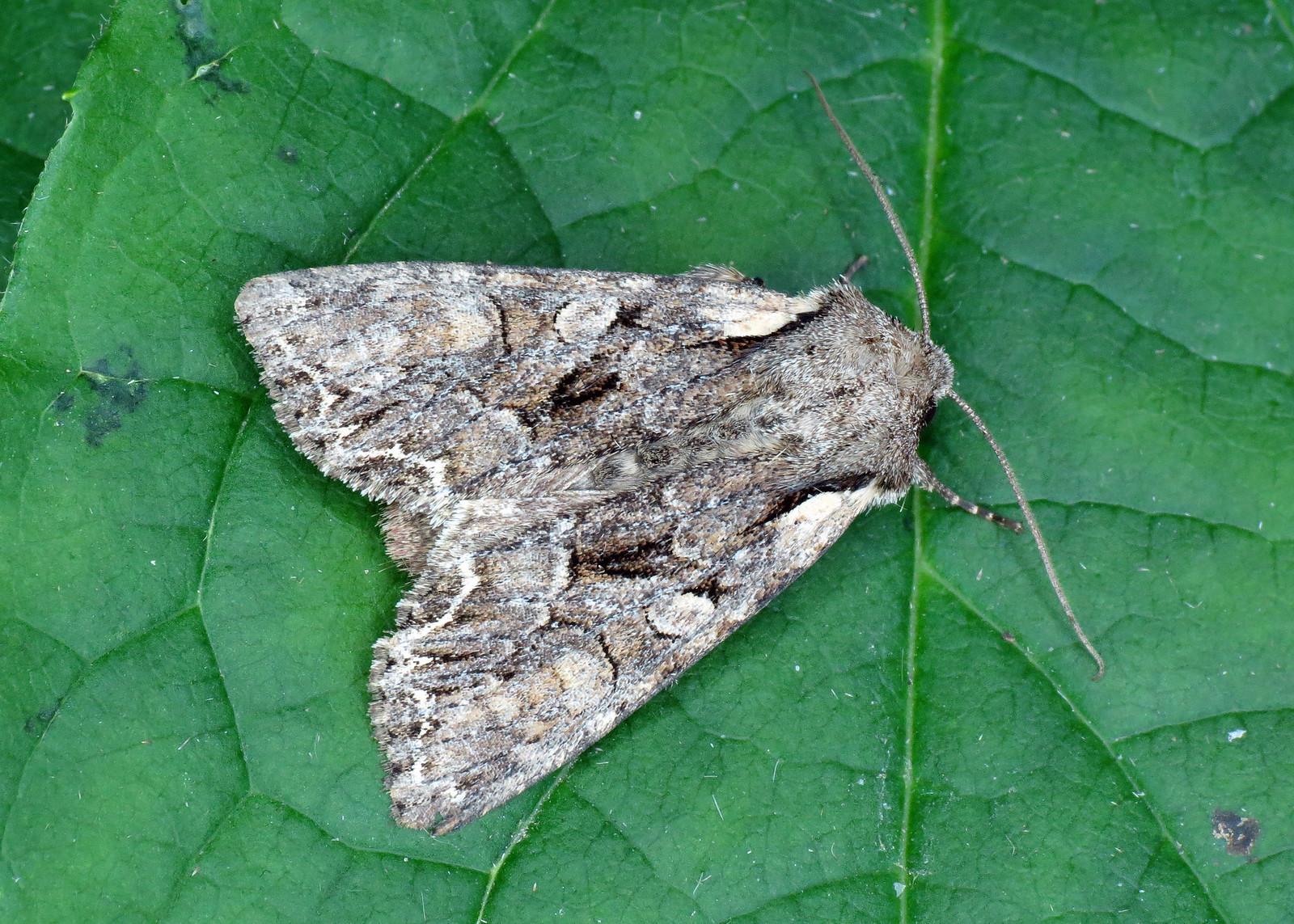 2158 Pale-shouldered Brocade - Lacanobia thalassina