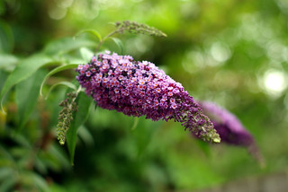 Buddlea | by sardinista