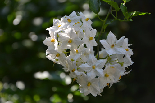Solanum jasminoides - faux-jasmin 14585012807_6597ea72ec