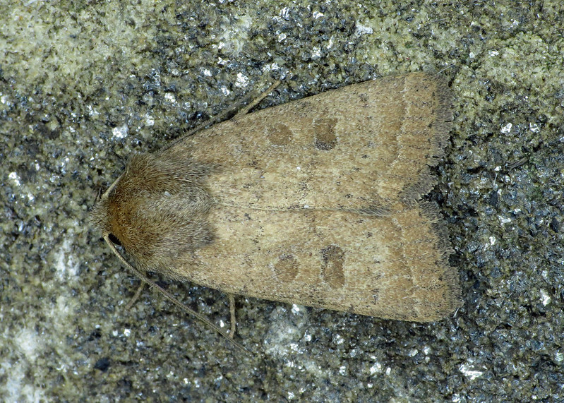 2382 The Rustic - Hoplodrina blanda