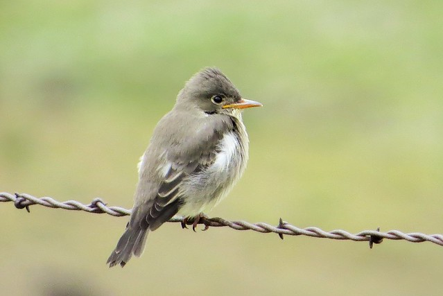 Young Ash-Throated Flycatcher