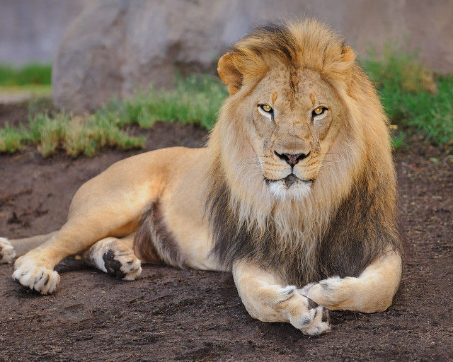 7115 Lion