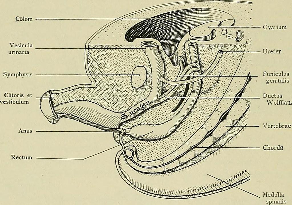 Image from page 62 of Hermaphroditismus beim Menschen (1