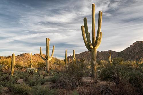 arizona carnegieagigantea pimacounty saguaro saguaronationalpark saguarowest sonorandesert tucsonmountaindistrict usa unitedstates cactus dawn desert landscape nationalpark outdoor plant sonoran sunrise