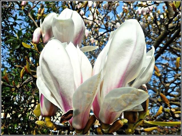 Beautiful Magnolia,