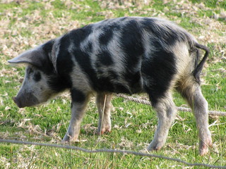 Spotted Puno Piggy | by pburka