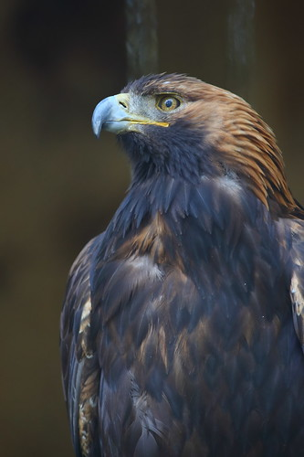 Golden Eagle | by MikaErkki
