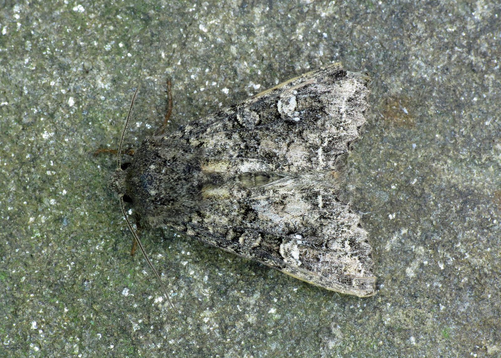 2154 Cabbage Moth - Mamestra brassicae