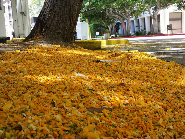 Blanket of yellow flowers