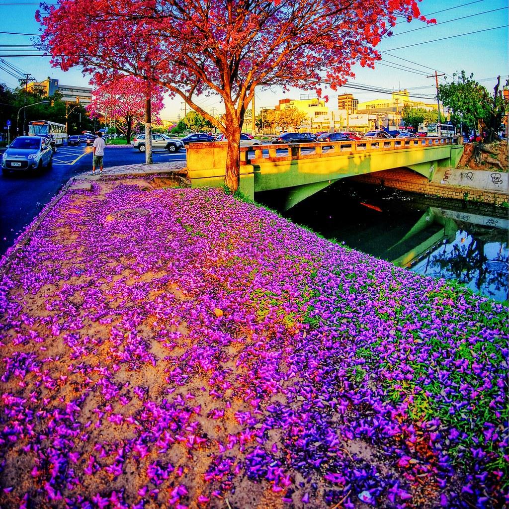 Tapete Rosa ' Floração de Ipês-roxos em Porto Alegre | Flickr