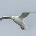 Flickr photo 'Glaucous Gull (Larus h. hyperboreus) in flight' by: Allan Hopkins.