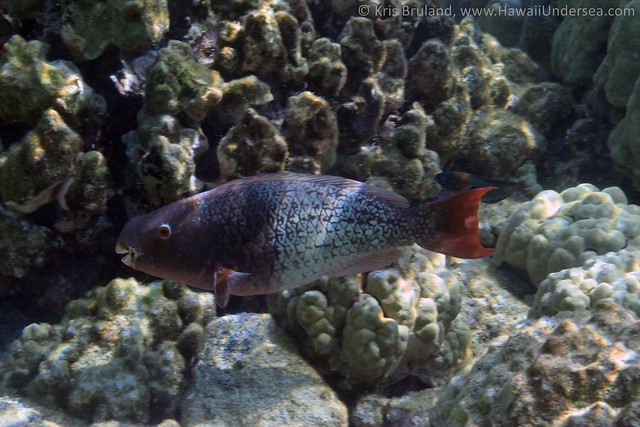ember parrotfish: Scarus rubroviolaceus