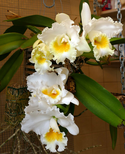 Cattleya Unknown [Volunteer 1-3] hybrid orchid | by nolehace