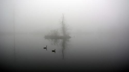 pond reflection fog landscape birds geese spring