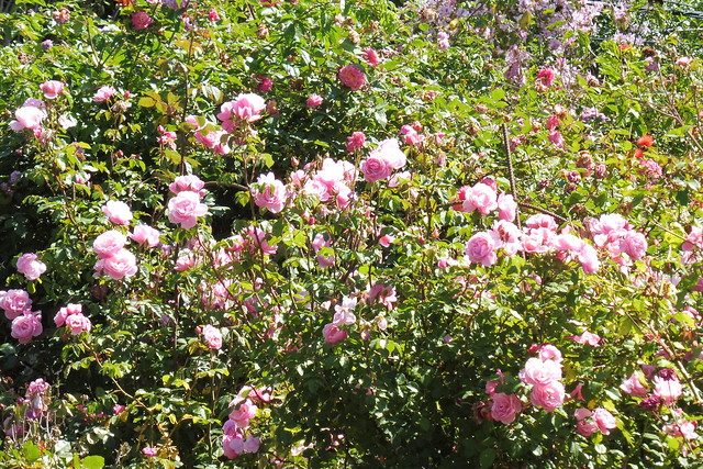 P1030693 bow bells roses