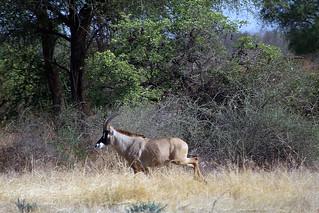 Roan Antelope in Zakouma National Park in Chad | by inyathi