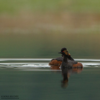 Black-necked Grebe (Podiceps nigricollis) | by _alcedo_