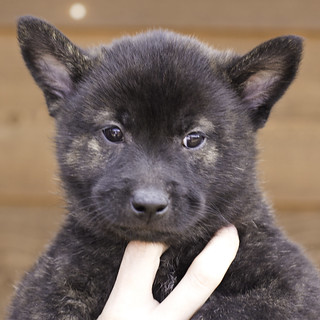 Ayui-Litter4-Day48-Puppy4-Male(Jax)-a | by brada1878