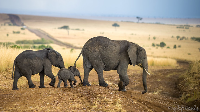 Elephant-family-crossing-in-rain_2157