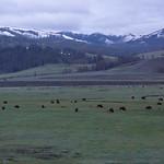 Bison on Lamar Valley