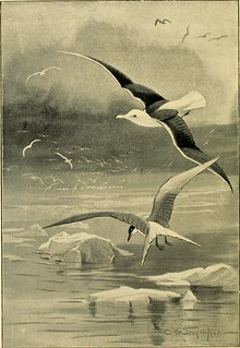 "Image from page 7 of ""British sea birds .."" (1896) 